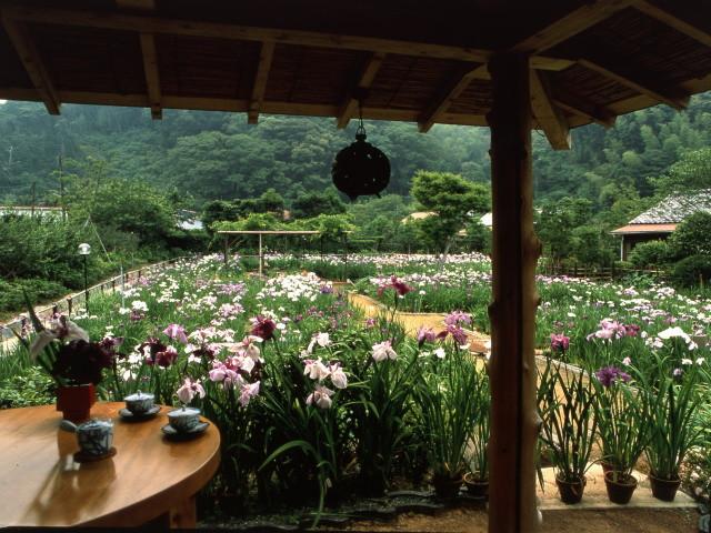 離れ家石田屋 六百坪に五百種の花菖蒲 5月末から6月中旬